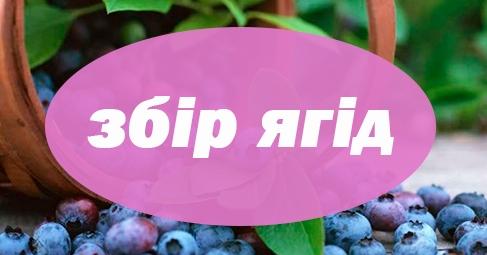 Робота на ягідному господарстві «Artberry».