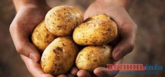 У Волинській області  – неврожай картоплі