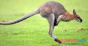 Австралійський підліток планував теракт, заклавши бомбу…у сумку кенгуру