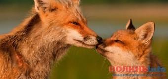 У Луцькому зоопарку перевірятимуть почуття поцілунками