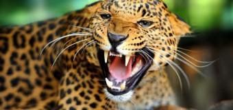 Леопард напав на жителів індійського села