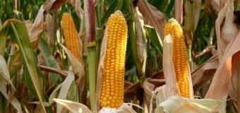 У волинському селі кукурудза в'яне від бактеріального ураження