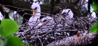 На Волині провели моніторинг гнізда чорного лелеки. ФОТО