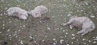Град з куряче яйце повбивав худобу в Іспанії. ВІДЕО