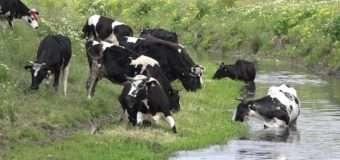 На Волині блискавка вбила дві корови
