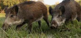 Волиняни просять керівництво області втрутитись у конфлікт через шкоду від диких кабанів