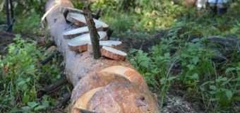 Короїд знищує ліси України. ВІДЕО