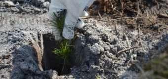 Волинські лісівники розповіли про тонкощі посадки лісових культур