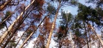 Лісівники Волині провели вже понад 50 виїзних семінарів з питань всихання соснових лісів