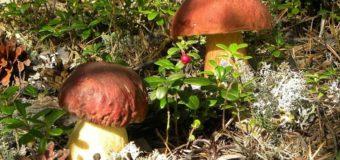 На Волині виявили радіоактивні гриби