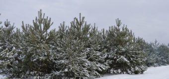 Цього року волинські лісівники готові реалізувати 70 тисяч новорічних красунь