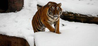 У Луцькому зоопарку розповіли цікаві факти про тигрів. ФОТО