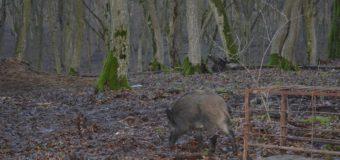 На Волині «лісову прописку» отримали ще двоє диких мешканців. ФОТО