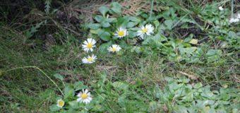 Напередодні Нового року у Шацьку починають розпускатися бруньки та цвітуть квіти