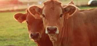 40 мільйонів доларів пожертвував Білл Гейтс на виведення ідеальної продуктивної корови