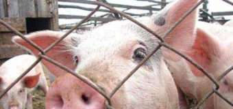 За 9 кілометрів від кордону з Шацьким районом зафіксована африканська чума свиней