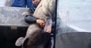 Рибалки виловили гіганського сома, який важить 140 кілограм
