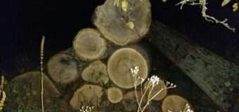19-річний волинянин викрав дубові колоди з території Цуманського лісового господарства