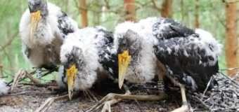 Повідомили, як на Волині намагаються зберегти рідкісний вид чорного лелеки