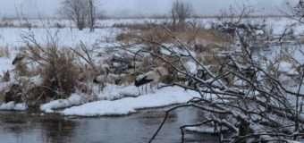 Як на Волині небайдужі рятують понад 50 лелек. Фото