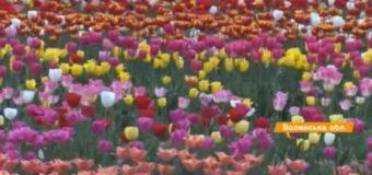 Два гектари тюльпанів: неймовірна краса на Волині. ВІДЕО