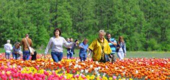 """""""Волинська Голландія"""": на кількох гектарах землі квітне близько двохсот видів тюльпанів. Фото"""