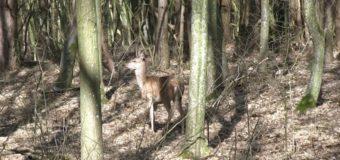 У вольєрі Воротнівського лісництва поселили 12 самиць оленя благородного. Відео. Фото