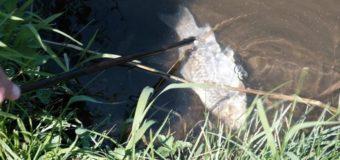 У ставку на Волині масово гине риба