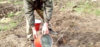 У лісах Меневиччини висадили плантації лохини
