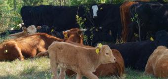 На Волинському підприємстві вирощують корів незвичним способом