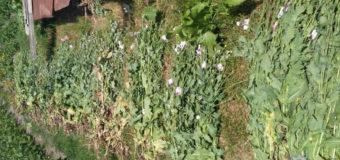 Жителька Ковельщини на присадибній ділянці вирощувала мак