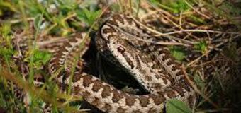 На Волині за три дні змії покусали 6 осіб