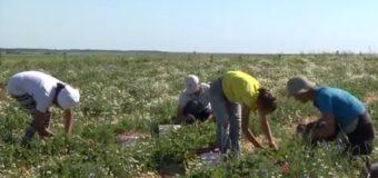 У селі на Волині масово вирощують полуницю. ВІДЕО