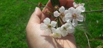 У Любешівському районі зацвіли яблуні й вишні. ФОТО