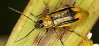 На Волині – карантинний режим через кукурудзяного жука
