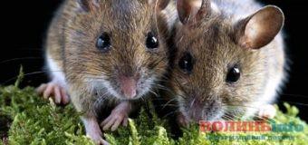 На Волині придумали, як боротись з мишами