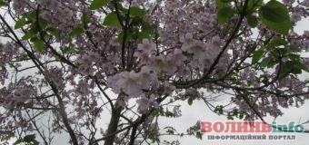 Варто побачити: у Дубні зацвіло унікальне дерево