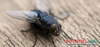 Чим небезпечні кімнатні мухи?