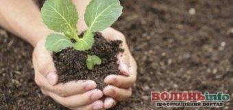 Як захистити капусту від шкідників без хімії