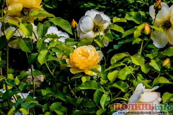 Луцьк у трояндах
