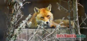 Потрібна допомога: лисичкам з луцького зоопарку необхідно збудувати житло
