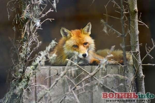 вольєр для лисиць