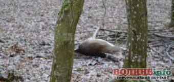 20 тис. грн лісівники обіцяють за інформацію про вбивство ланей