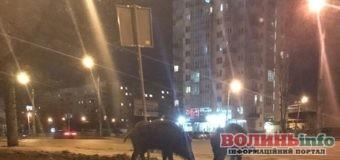 На вулицях Львова помітили пару диких кабанів