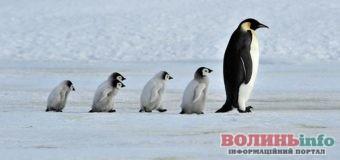 Всесвітній день пінгвінів 25 квітня: неймовірні факти