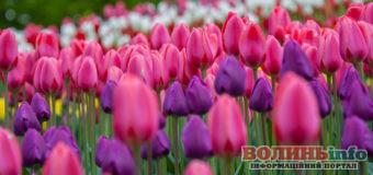 Тюльпанові поля в Нідерландах скошують, щоб уникнути розповсюдження коронавірусу
