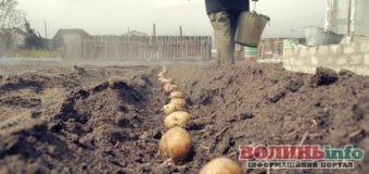 Сезон картоплі: чим обробити перед посадкою бульбу, щоб врожай був якісний та ранній