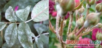 Як вилікувати троянди від грибка: поради квітникарів