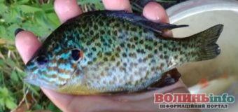 На Рівненщині зловили рибу-шкідника з Північної Америки