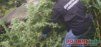 Пів кілограма наркотиків сушив у своєму гаражі волинянин